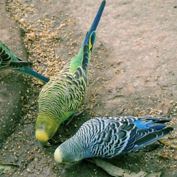 Proso- bardzo lubiane przezpapugi